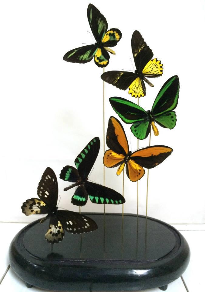 Vlinders in antieke stolp 1