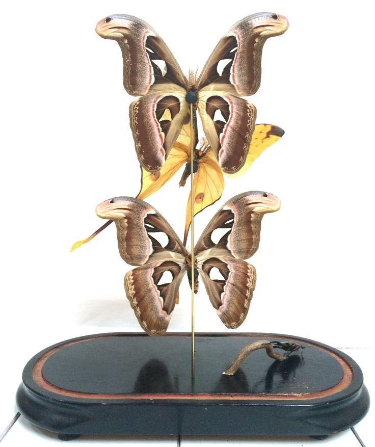 Vlinders in antieke stolp 4